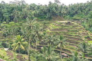 plantation water green tree landscape crop palm harvest field terrace