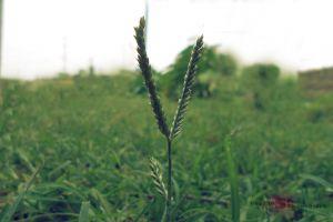 plants blurred garden green non flowering plant grass field corn field natural blade of grass back yard