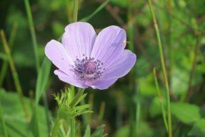 purple anemone nature flower