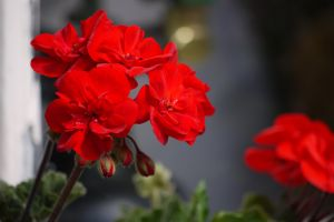 red close up flower
