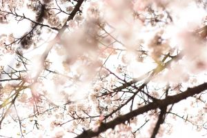 scenic bloom beautiful color bright cold japan season low angle shot cherry blossoms