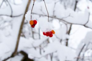 season ice frosty berries frost snow fruits winter cold snowy
