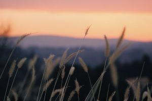 sky field nature landscape growth sunset rye close-up grass golden hour
