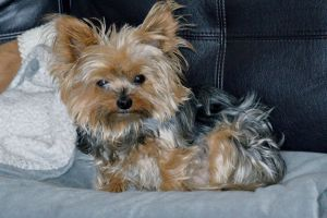sleepy dog yorkshire terrier yorkshire cute cute animals