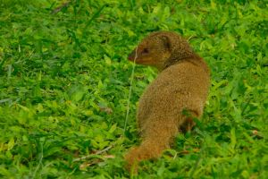 small animal grass animal mongoose cute oahu hawaii critter outdoor dreamco