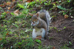 squirrel animal dirt grass nature wildlife soil green nut
