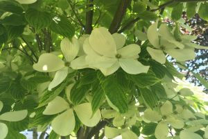 tree flower white flower flower dogwood flower dogwood