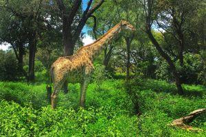 trees livingstone africa zambia giraffe