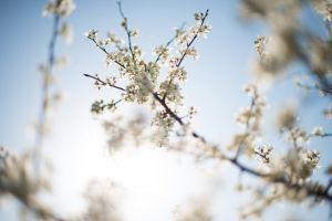 white background branches petals blur flowers blue sky bright background clear sky
