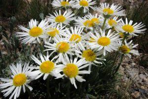 white yellow white daisies flowers
