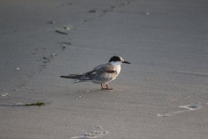 wild animal outdoorchallenge wild life sea bird bird life beach long beach ny lbny