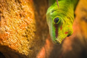 wild iguana focus gecko wildlife colourful lizard colorful rock exotic