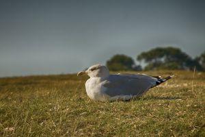wildlife animal gull feathers grass seagull daytime