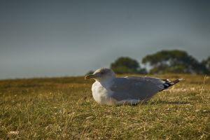 wildlife photography beach blurred background blur nature grass close-up wildlife seagull animal