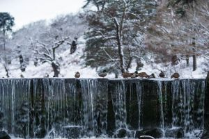 winter aquatic animal animals snow season ducks snowy cold
