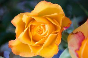 woman love flower rose flora nature lovely flowers