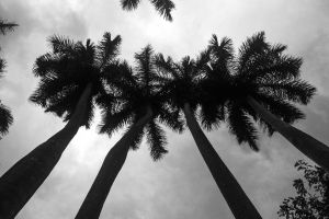 wood tropical nature low angle photography sky trees palm trees clouds coconut trees monochrome