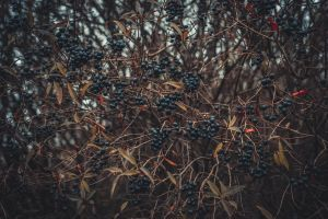 woods forest fruit dark trees pattern berries branches cluster dry