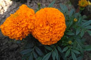 yellow flower beautiful flowers