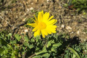 yellow flower desktop wallpaper sun