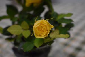 yellow rose rose flower yellow