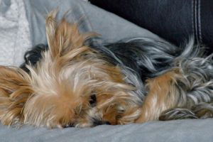 yorkie sleeping dog animals dogs cute animals yorkshire terrier cute