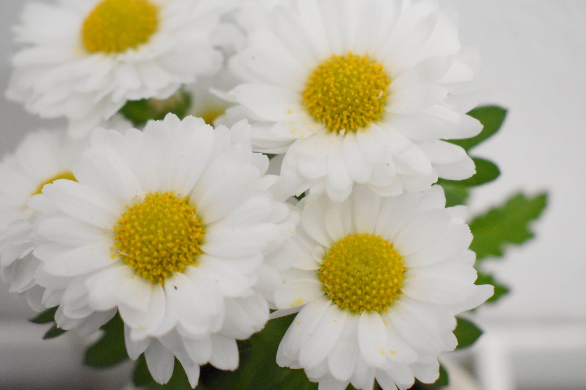 wedding daisies white flowers
