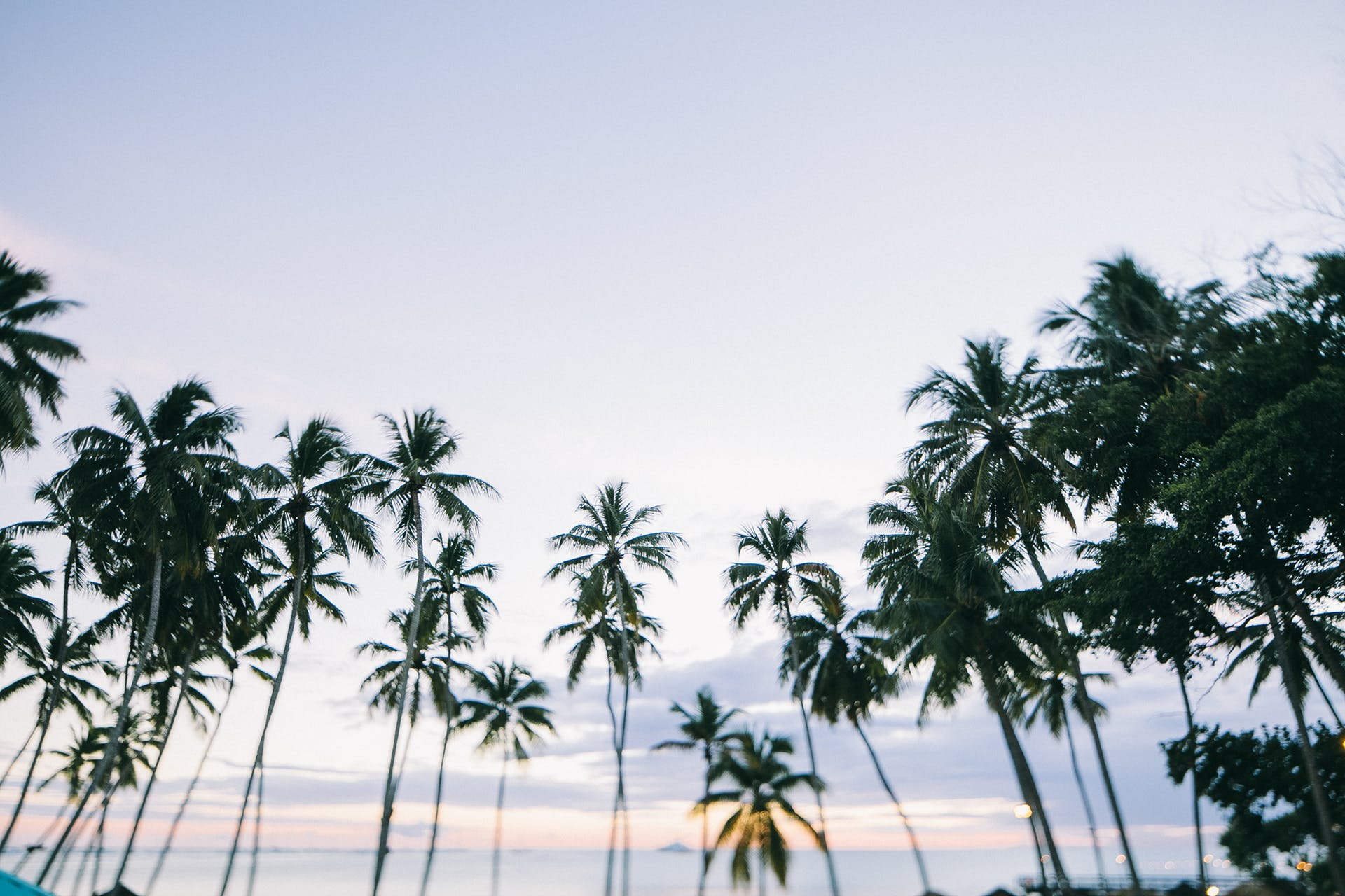 coconut trees palm trees trees