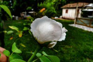 beautiful flower nature rose