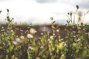blossom background indonesia flora flower natural lavender