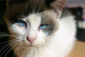 cat cat eyes animal blue eyes blue eyes
