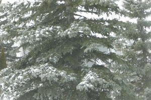 conifer frozen needles environment growth evergreen nature snow tree winter