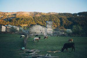 cow cattle livestock mammal animals grass farm farmland cropland field
