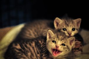 cute yawn kitten yawning