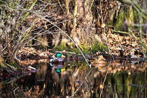 duck bird wildlife photography water birds wildlife ducks beauty in nature animal world love beautiful dark green