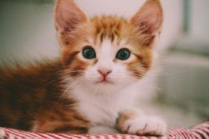 eyes adorable pet fur kitten cat mammal whiskers looking animal photography
