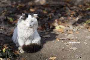 feline white and brown long hair ground park dried leaves cat animal nature sitting