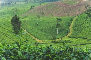 field tea plantation background trees indonesia plant