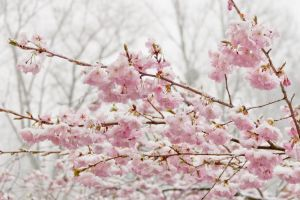 flowering cherry blossom cherry blossoms cold cherry snow winter white