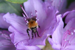 flowers bumblebee nectar flowering