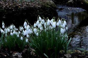 flowers snowdrops flora blossom bloom petals plant