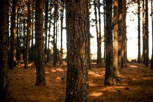 forest eucalyptus greenwood evening sun