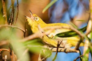 greenfinch feather green carduelis garden warbler branch wing wildlife yellow