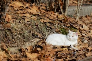 ground dried leaves park winter white cat on leaf carpet lying pet cat