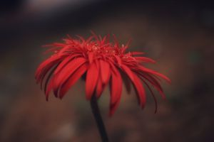 hd wallpapers red flowers red flowers