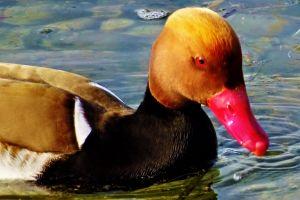 idyllic animal swim lake garda nature idyll close-up view repose water animal photography