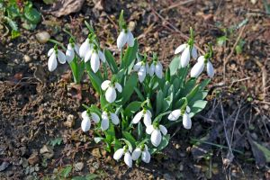 image flower snowdrop photography nature photography