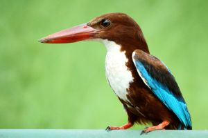 kingfisher beauty in nature wildlife wild nature white throated kingfisher