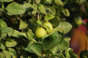 lemon in tree lemon fruit