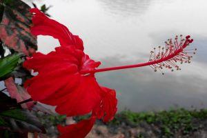 lotus 14 februyary golap china rose rose bakul lily night rose red bela